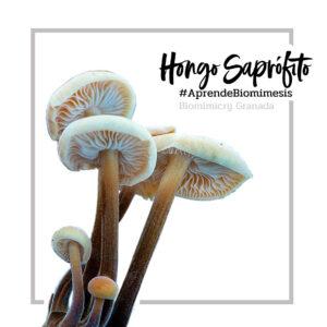 Hongo-Saprófito